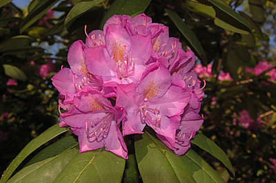 Photograph - Rhododendron by Greg Vizzi