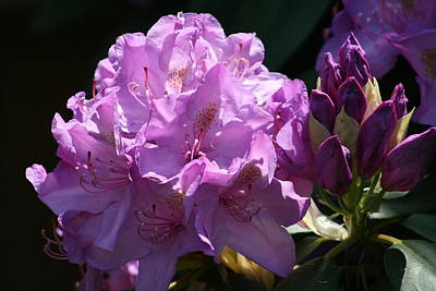 Photograph - Rhododendron In The Morning Light by Kay Novy