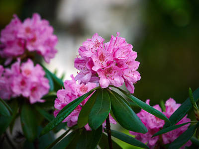Jouko Lehto Royalty-Free and Rights-Managed Images - Rhododendron by Jouko Lehto