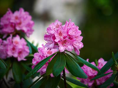 Jouko Lehto Royalty-Free and Rights-Managed Images - Rhododendron by Jouko Lehto
