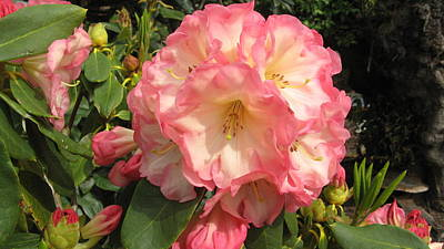 Photograph - Rhododendron by Joyce Woodhouse