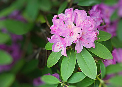 Photograph - Rhododendron by Kristin Elmquist