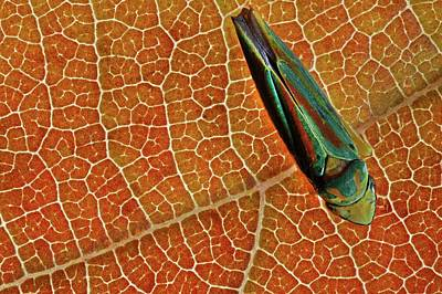 Rhododendron Leafhopper Art Print