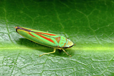 Striking Photograph - Rhododendron Leafhopper by Nigel Downer