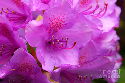 Rhododendrons Photograph - Rhododendron Macro by Lutz Baar