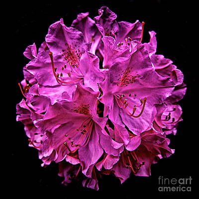 Photograph - Rhododendron by Mark Miller