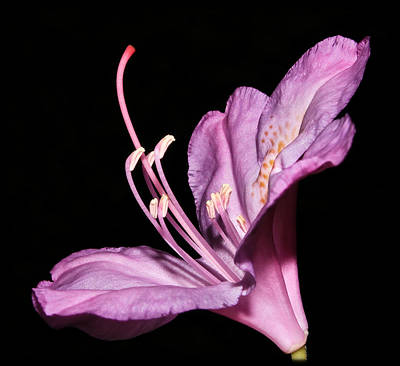 Photograph - Rhododendron Maximum by Tammy Schneider