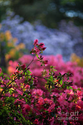 Blue Petals Photograph - Rhododendron Pink Dream by Mike Reid