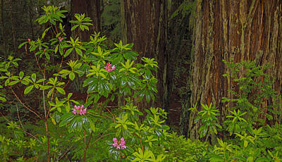 Photograph - Rhododendron Spring 2013 by Ralph Nordstrom