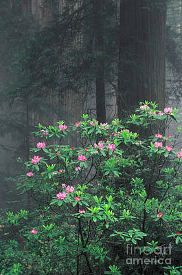 Rhododendrons And Redwoods Art Print by Ron Sanford