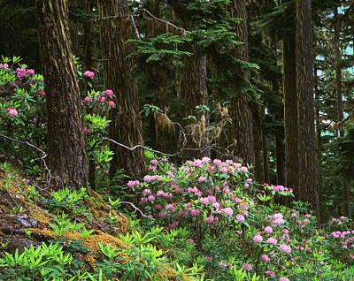 Randy Photograph - Rhododendrons And Trees, Washington by Randy Green