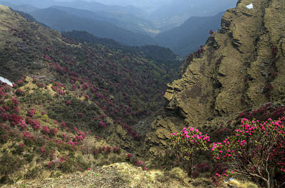 Photograph - Rhododendrons Bloom In The Chopta Valley by Rohit Chawla