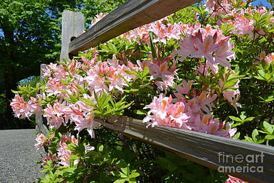 Rhododendrons In Tumwater Falls Park Art Print