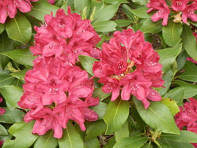 Photograph - Rhododendron Bush by Valerie Bruno