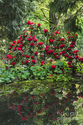 Photograph - Rhody Reflections by Louise Magno