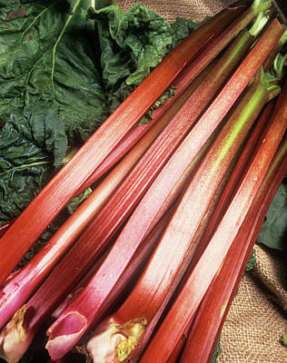 Rhubarb Art Print by Ray Lacey/science Photo Library