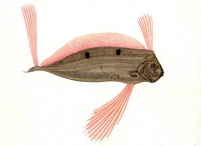 1849 Photograph - Ribbonfish by Collection Abecasis