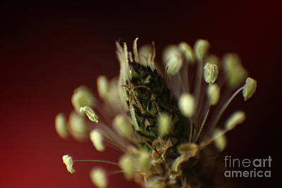 Photograph - Ribwort Plantain  by Eden Baed