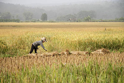 Asia Photograph - Rice Field by Alexey Stiop
