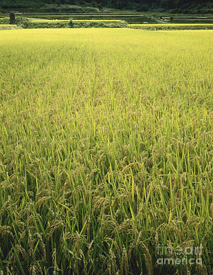 Rice Field At Harvest Time Art Print by Hiroshi Harada, Dunq
