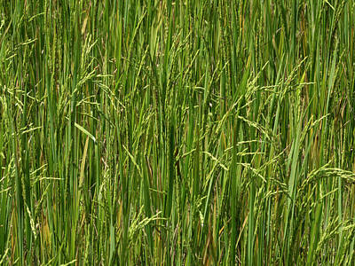 Southern Province Photograph - Rice Field At Lunuganga, Bentota by Panoramic Images