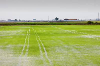 Wetlands Photograph - Rice Growing In Paddy Fields  by Ashley Cooper