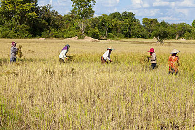 Asia Photograph - Rice Harvesting by Alexey Stiop