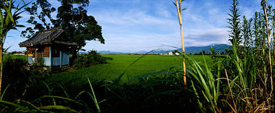 Rice Paddies In A Field, Saga Print by Panoramic Images
