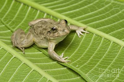 Photograph - Rice Paddy Frog by Dan Suzio
