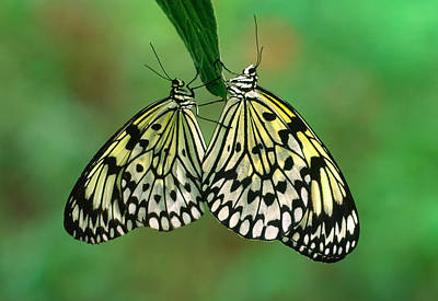 Large Tree Nymph Photograph - Rice Paper Butterflies Mating by Nigel Downer