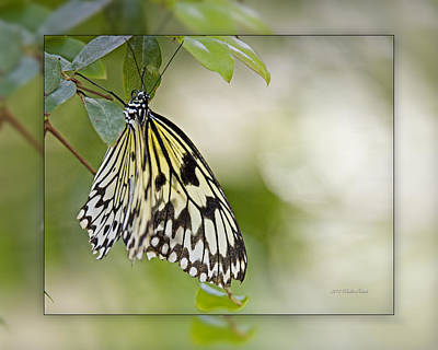 Photograph - Rice Paper Butterfly 1b by Walter Herrit