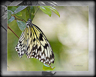 Photograph - Rice Paper Butterfly 1c by Walter Herrit