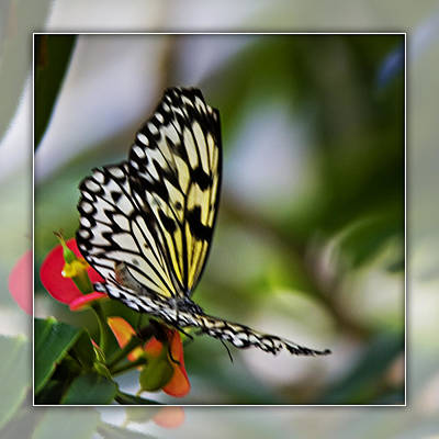 Photograph - Rice Paper Butterfly 3b by Walter Herrit