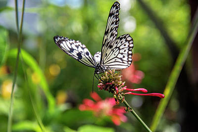 Idea Leuconoe Photograph - Rice Paper Butterfly (idea Leuconoe by Chuck Haney