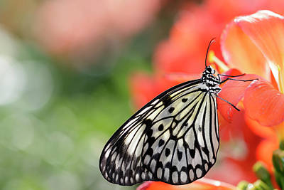 Idea Leuconoe Photograph - Rice Paper Butterfly  Idea Leuconoe by Dominic Marcoux