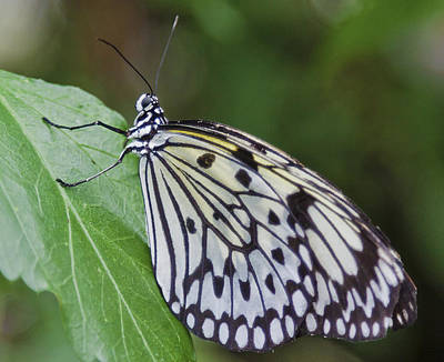 Large Tree Nymph Photograph - Rice Paper Butterfly by Maj Seda