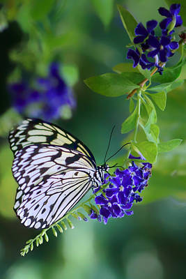 Large Tree Nymph Photograph - Rice Paper Butterfly by Nikolyn McDonald