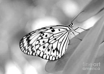 Photograph - Rice Paper Butterfly Resting For A Second by Sabrina L Ryan