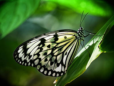 Idea Leuconoe Photograph - Rice Paper Butterfly by Zoe Ferrie