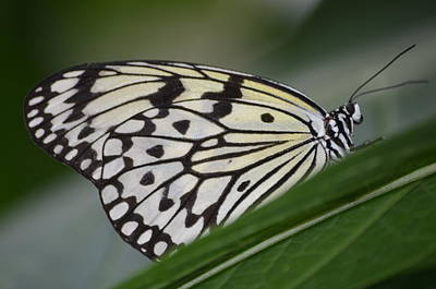 Butterfly Photograph - Rice Paper On Leaf by Richard Bryce and Family