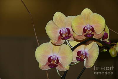 Photograph - Rich Golden Orchids by Terri Thompson
