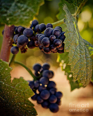 Photograph - Rich Grapes On The Vine by Ana V Ramirez