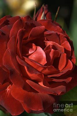 Rich Is Rose Art Print by Joy Watson