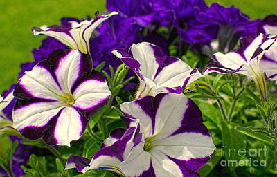 Photograph - Rich Velvety Petunias 2 by Sharon Talson