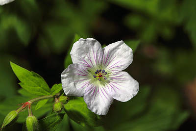 Photograph - Richardsons Geranium by Alan Vance Ley