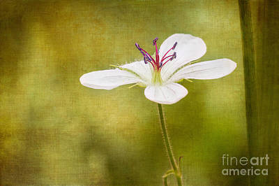 Photograph - Richardsons Geranium by Marianne Jensen