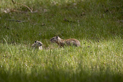 Photograph - Richardson's Ground Squirrel - 0001 by S and S Photo