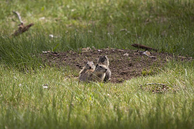 Photograph - Richardson's Ground Squirrel - 0003 by S and S Photo