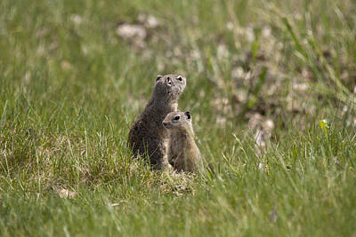 Photograph - Richardson's Ground Squirrel - 0005 by S and S Photo