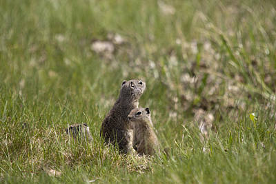 Photograph - Richardson's Ground Squirrel - 0006 by S and S Photo